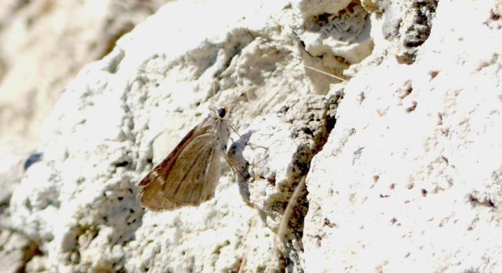 La papallona sageta petita és present a s'Albufera de Mallorca